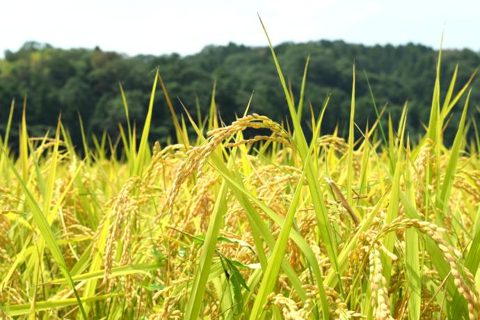 福井県認証特別栽培米